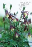 AQUILEGIA buergeriana  'Calimero' Seeds