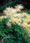ARUNCUS dioicus   Seeds