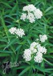ASCLEPIAS incarnata  'Iceballet' Seeds