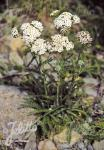 ACHILLEA millefolium  wild form