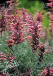 AGASTACHE rupestris   Portion(en)