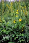 AGRIMONIA eupatoria   Portion(en)
