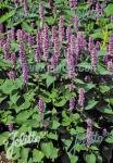 AGASTACHE rugosa   Portion(en)