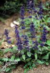 AJUGA genevensis   Portion(s)