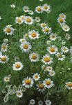 ANACYCLUS pyrethrum   Portion(en)
