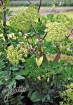 ANGELICA archangelica  'BLBP 01' Portion(s)