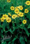 ARNICA chamissonis   Portion(en)