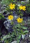 ARNICA montana   Portion(en)