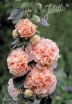ALCEA rosea plena Chaters-Series 'Chaters salmon pink' Portion(s)