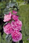 ALCEA rosea plena Chaters-Serie 'Chaters rosa' Portion(en)