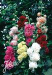 ALCEA rosea plena Chaters-Series 'Chaters magnificent … Portion(s)
