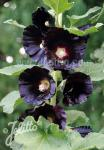 ALCEA rosea var. nigra   Portion(s)
