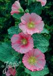 ALCEA Rosea-Hybr. Spotlight Serie 'Radiant Rose' Portion(en)