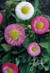 BELLIS perennis Rominette-Series 'Rominette Mixture'
