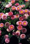 BELLIS perennis Rominette-Series 'Rominette Pink' Portion(s)