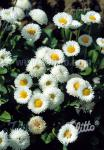 BELLIS perennis Rominette-Series 'Rominette White'