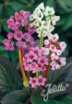 BERGENIA cordifolia  'New Hybrids' Portion(s)