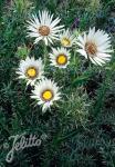 BERKHEYA cirsiifolia   Portion(s)