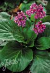 BERGENIA crassifolia   Portion(s)