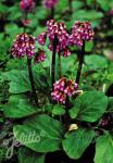 BERGENIA purpurascens   Portion(en)