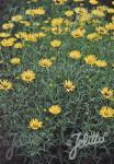 BUPHTHALMUM salicifolium   Portion(s)