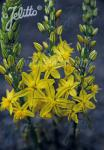 BULBINE frutescens   Portion(en)
