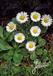 BELLIS perennis   Portion(en)