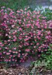 CALAMINTHA grandiflora   Portion(en)