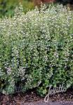 CALAMINTHA nepeta ssp. nepeta  'Blue Cloud Strain` Portion(s)