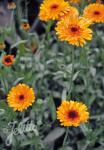 CALENDULA officinalis   Portion(en)