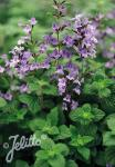 CALAMINTHA nepeta  'Marvelette Blue' Portion(en)
