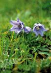 CAMPANULA alpestris   Portion(en)