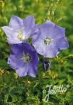 CAMPANULA carpatica  'Blaue Clips' Portion(en)