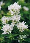 CAMPANULA glomerata  'Bellefleur White'(R) Portion(s)