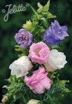 CAMPANULA medium  'Double Mixture' Portion(s)