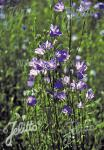 CAMPANULA persicifolia  Wildform Portion(en)