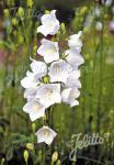 CAMPANULA persicifolia  'Grandiflora Alba' Portion(s)