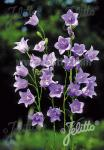 CAMPANULA persicifolia  'Telham Beauty' Portion(s)