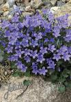 CAMPANULA portenschlagiana  'Blue Magic'(R) Portion(s)