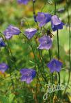 CAMPANULA rotundifolia  'Thumbell Blue'(TM) Portion(s)