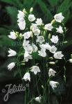 CAMPANULA rotundifolia  'White Gem'