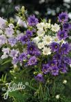CAMPANULA trachelium fl.pl.  'Flore Pleno Mix' Portion(en)