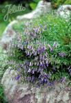 CAMPANULA waldsteiniana   Portion(s)