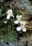 CAPPARIS spinosa   Portion(en)