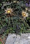 CARLINA acaulis ssp. caulescens  'Bronze' Portion(en)
