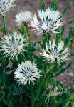 CENTAUREA cheiranthifolia   Portion(en)