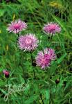 CENTAUREA jacea   Portion(s)