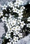 CERASTIUM grandiflorum   Portion(en)