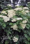 TANACETUM macrophyllum   Portion(en)