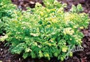 TANACETUM parthenium  'Golden Moss' Portion(en)